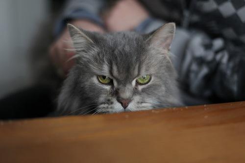 Fotografie einer langhaarigen grauen Katze, die uns über eine Tischkante hinweg ansieht.