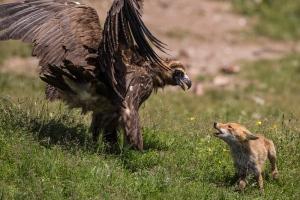 Ein Mönchsgeier mit erhobenen Flügeln und ein Fuchs mit gefletschten Lefzen in gegenseitiger Drohgebärde