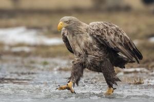Ein Seeadler, der durch Wasser läuft