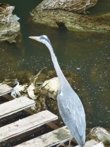Ein Fischreiher auf einem Steg am Ufer eines Gewässers