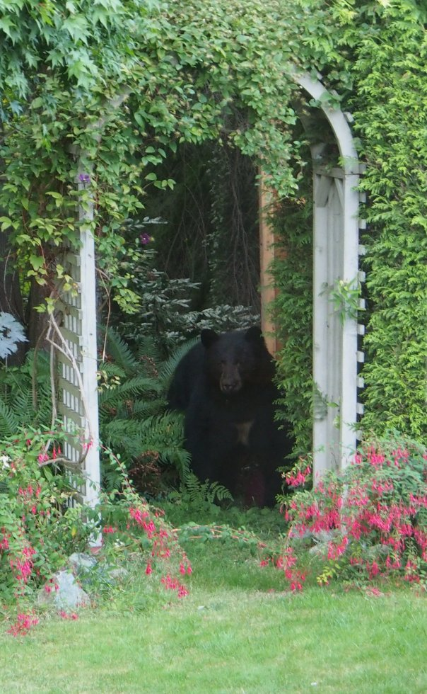 A black bear in a garden