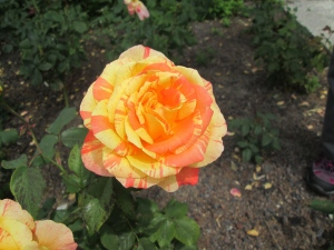 Gelbrote Blüte einer Rose von oben gesehen